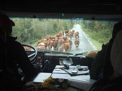 36-cattle-blocking-the-road_8176228585_o